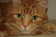 Cats, high blood pressure, free checks at Valley Vets